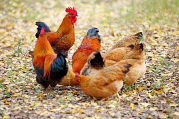 家禽提货系统