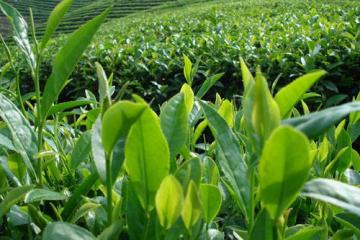 茶叶提货系统
